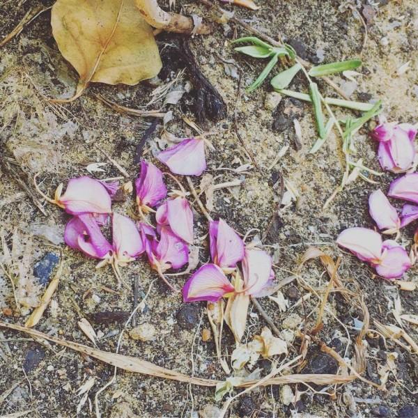 recycling Sweet Pea Shrub flowers