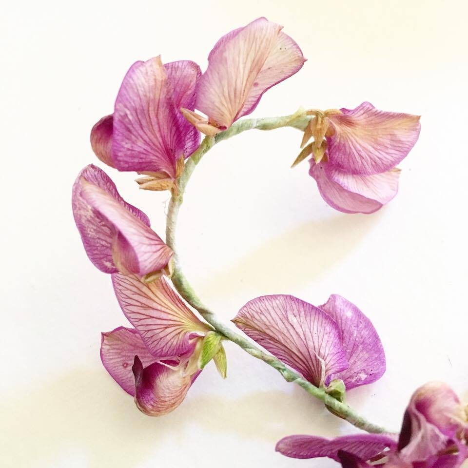 Recycling Nature's gifts – sweet pea shrub