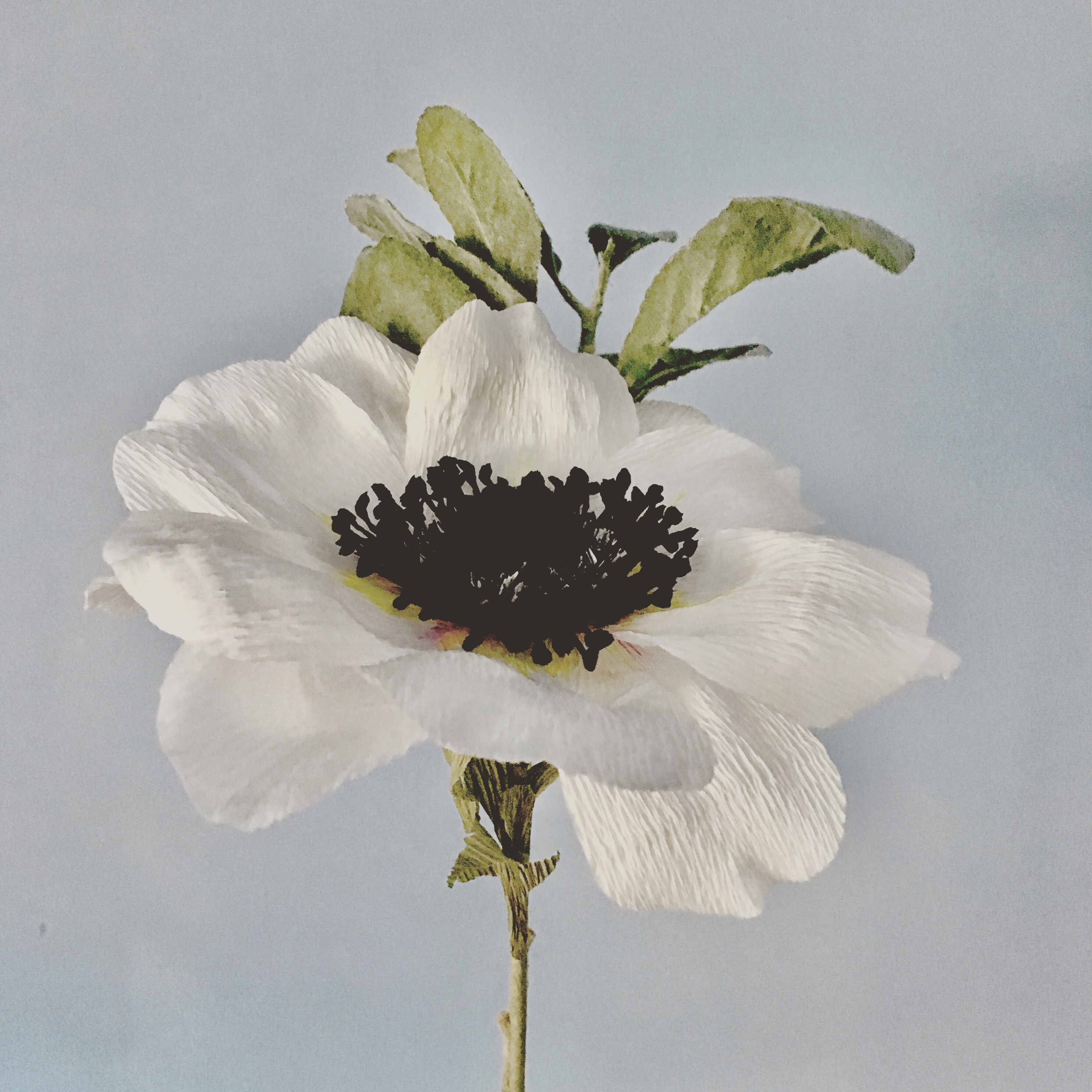 ready white crepe paper anemone on grey background