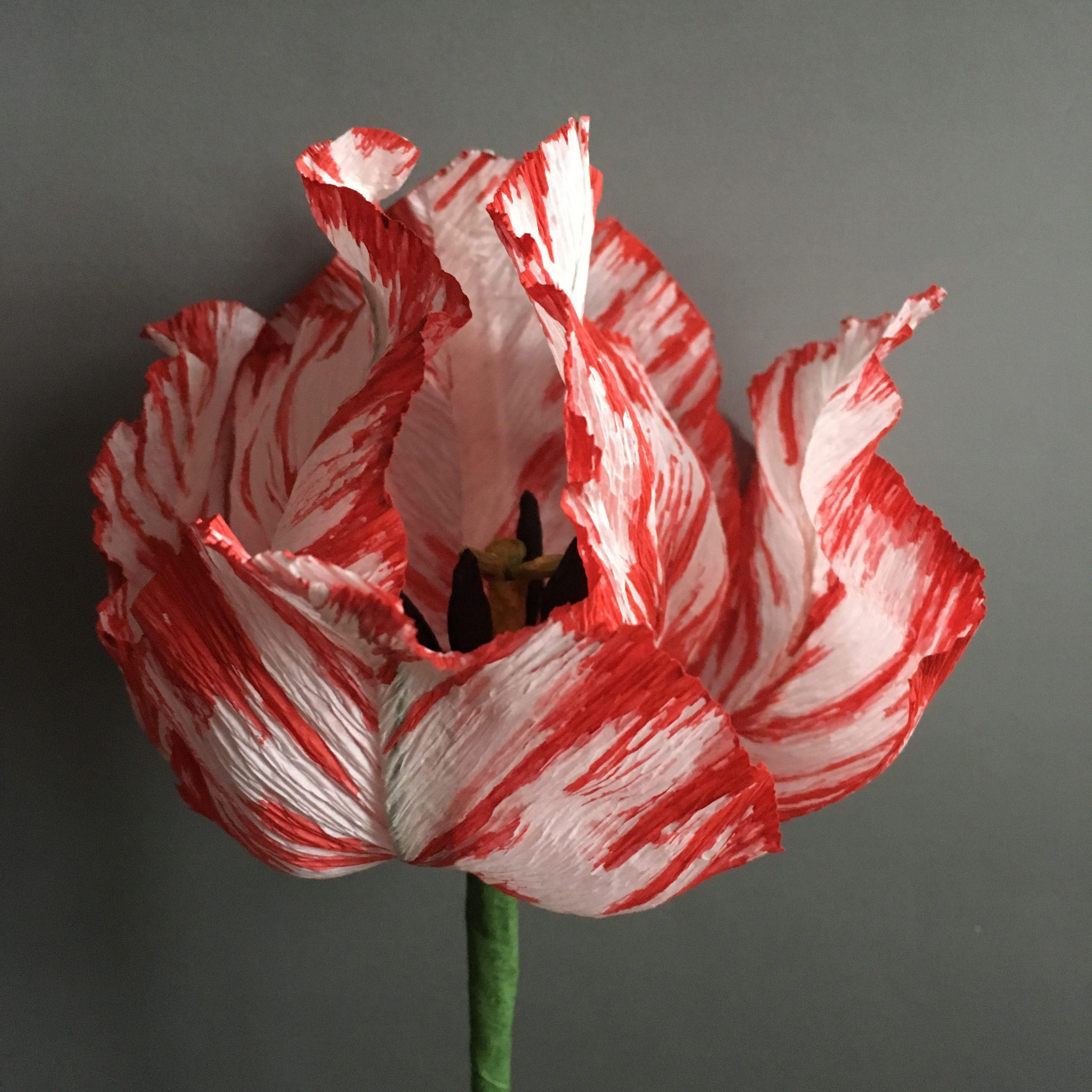 red and white petals of Semper Augustus tulip