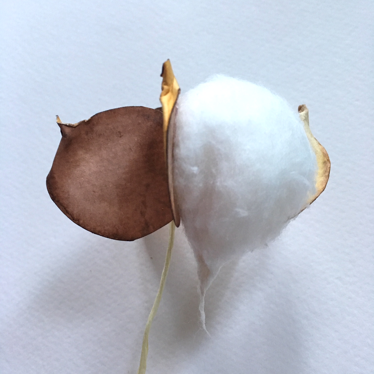 first cotton ball glued between the paper leaves